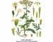 Achillea millefolium 480x420