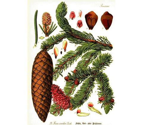 abete rosso Picea abies 480x420